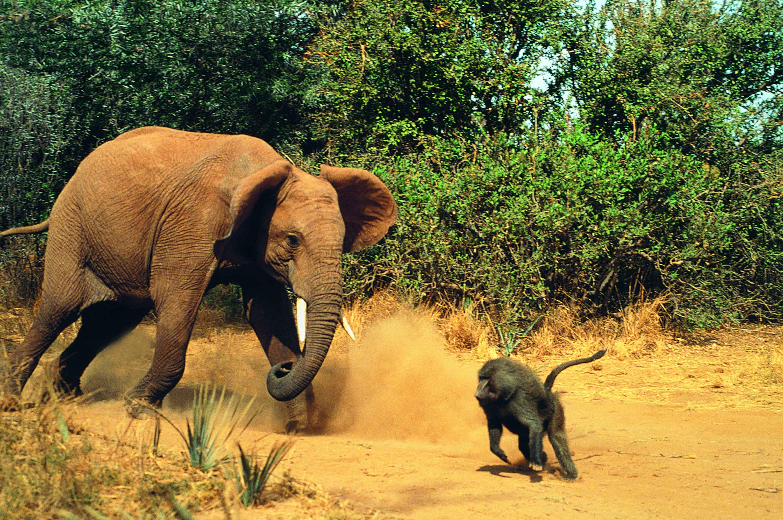 http://cdn.oboi7.com/1c8e55a9251590f89083c79f296cf553346f75cb/zhivotnye-borba-slony-obezyany-babuin.jpg