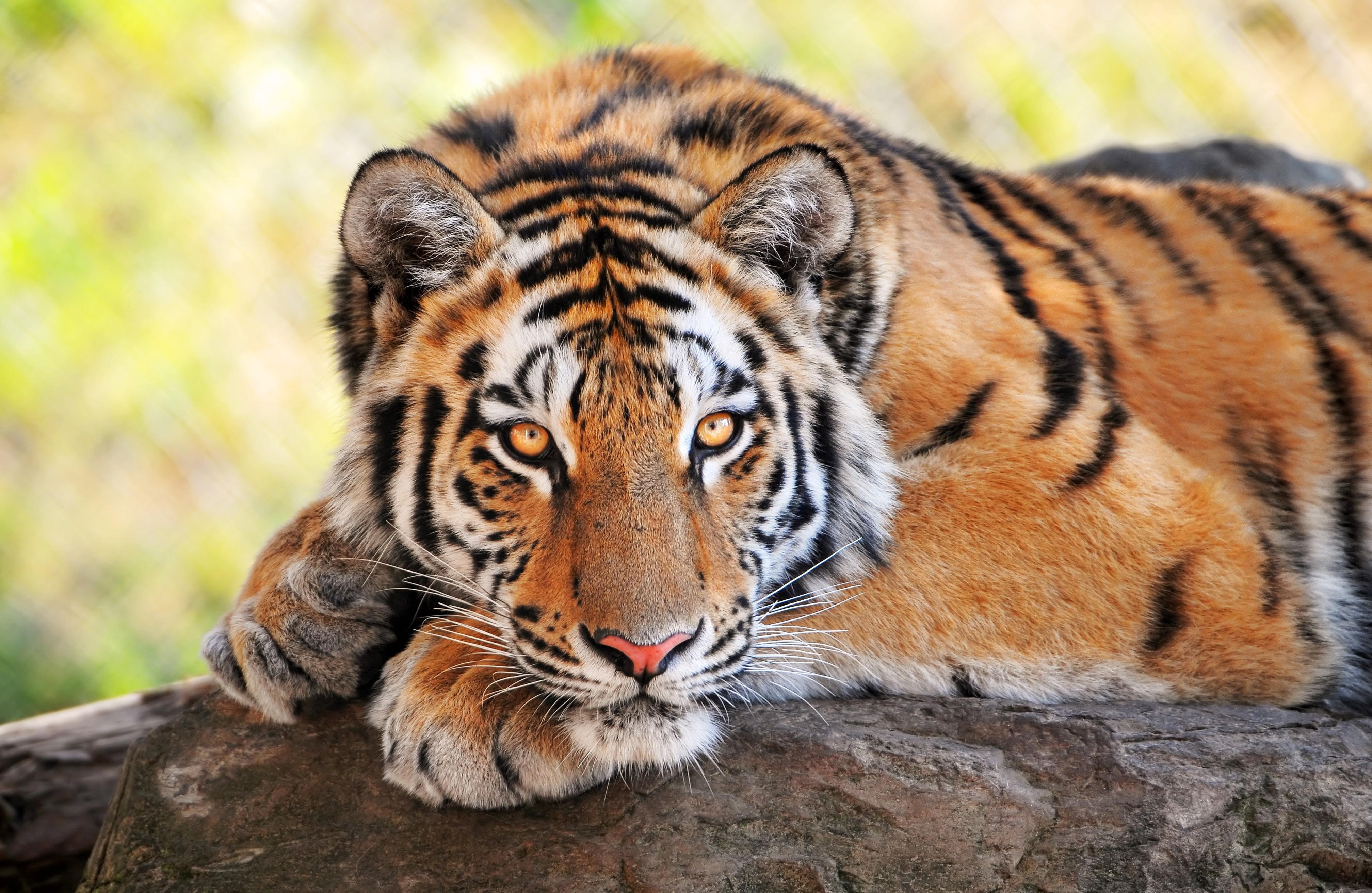 http://cdn.oboi7.com/34f009a05f92d43c7112380c90f0085413263dc5/zhivotnye-tigry.jpg