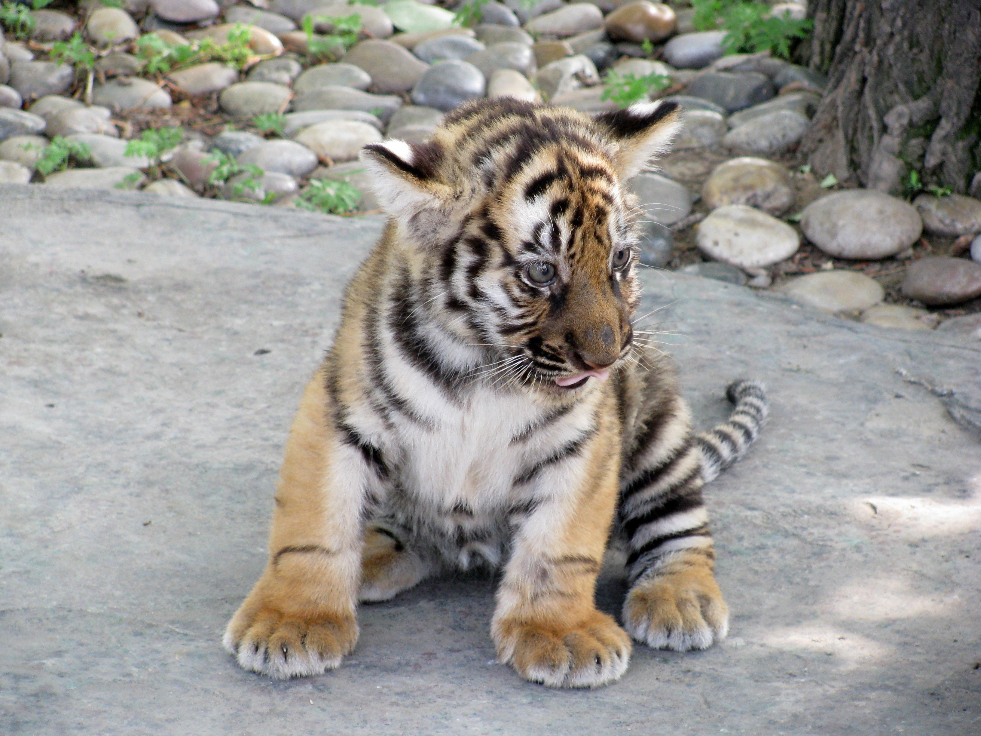 http://cdn.oboi7.com/35210927f42e50e4d630ca0e1ce4c2f536a65717/zhivotnye-tigry.jpg