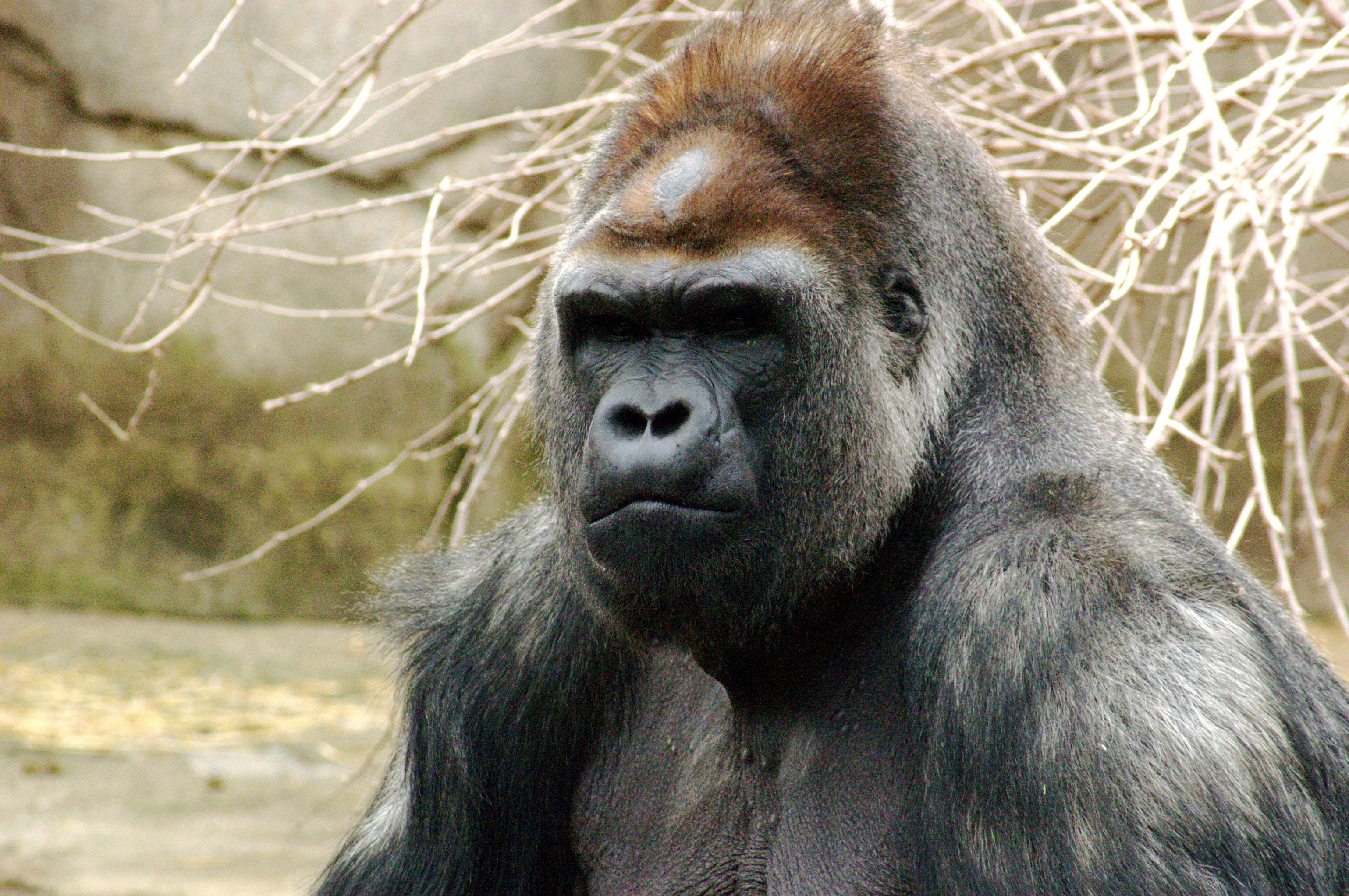 http://cdn.oboi7.com/99f9ec9d59f44736845cecae10267b2ca5515375/zhivotnye-obezyany-gorilly-primaty.jpg