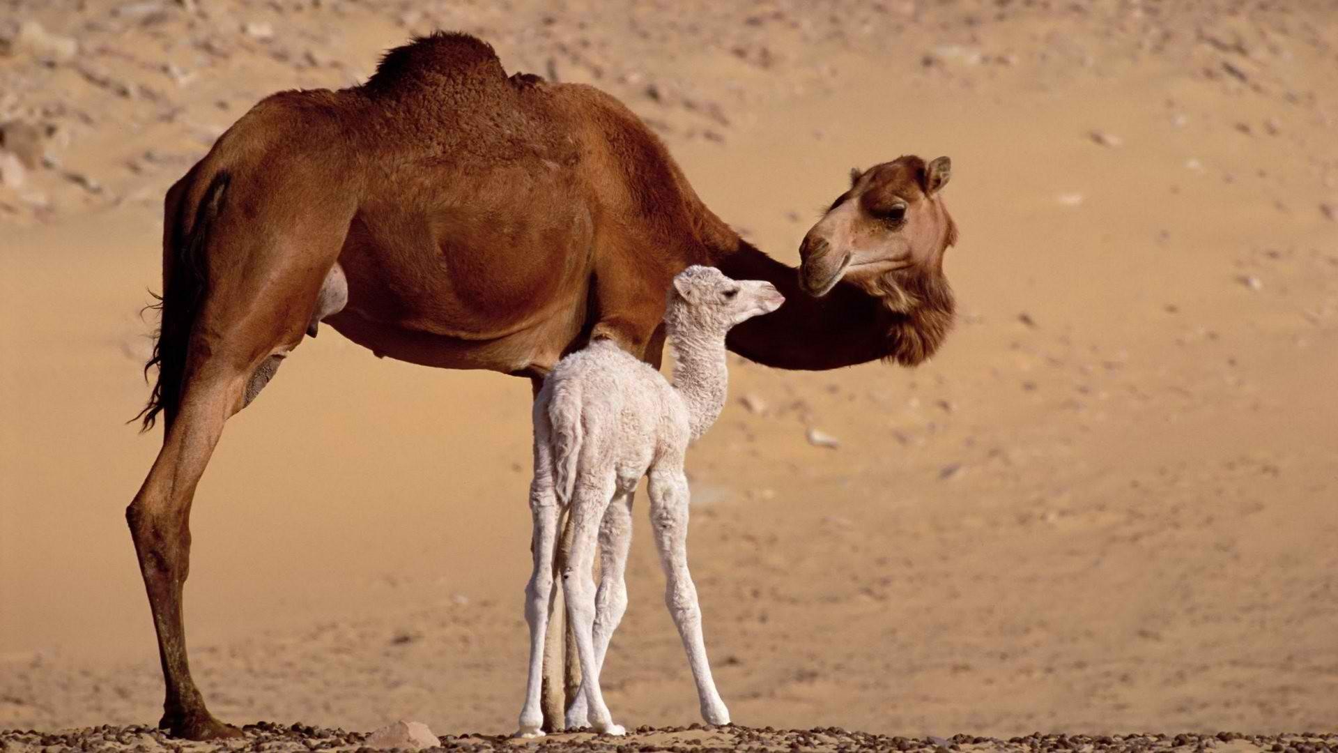 фото верблюд с верблюжонком