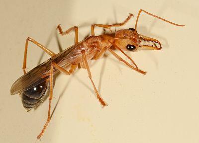 муравьи, Австралия, бульдог муравей - обои на рабочий стол