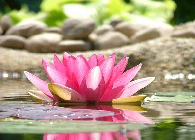 вода, цветы, камни, золотые шары лотоса - случайные обои интересах рабочего стола