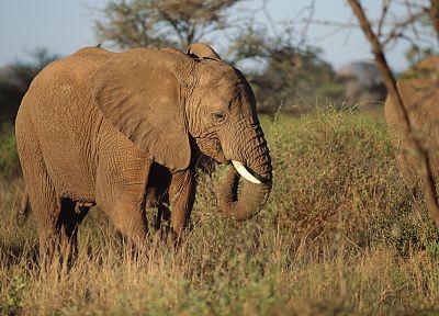 животные, слоны - обои на рабочий стол