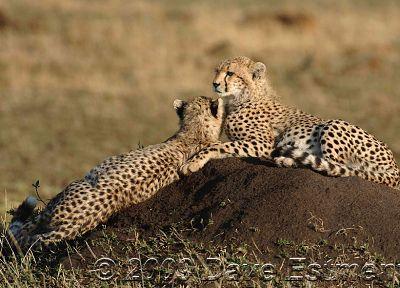 природа, животные, гепарды, дикие кошки - популярные обои на рабочий стол