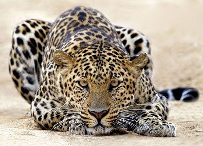 животные, леопарды - обои на рабочий стол