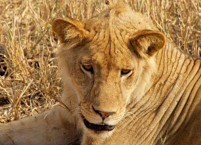 животные, львы - новые обои для рабочего стола