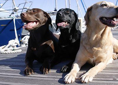 животные, собаки - случайные шпалеры пользу кого рабочего стола
