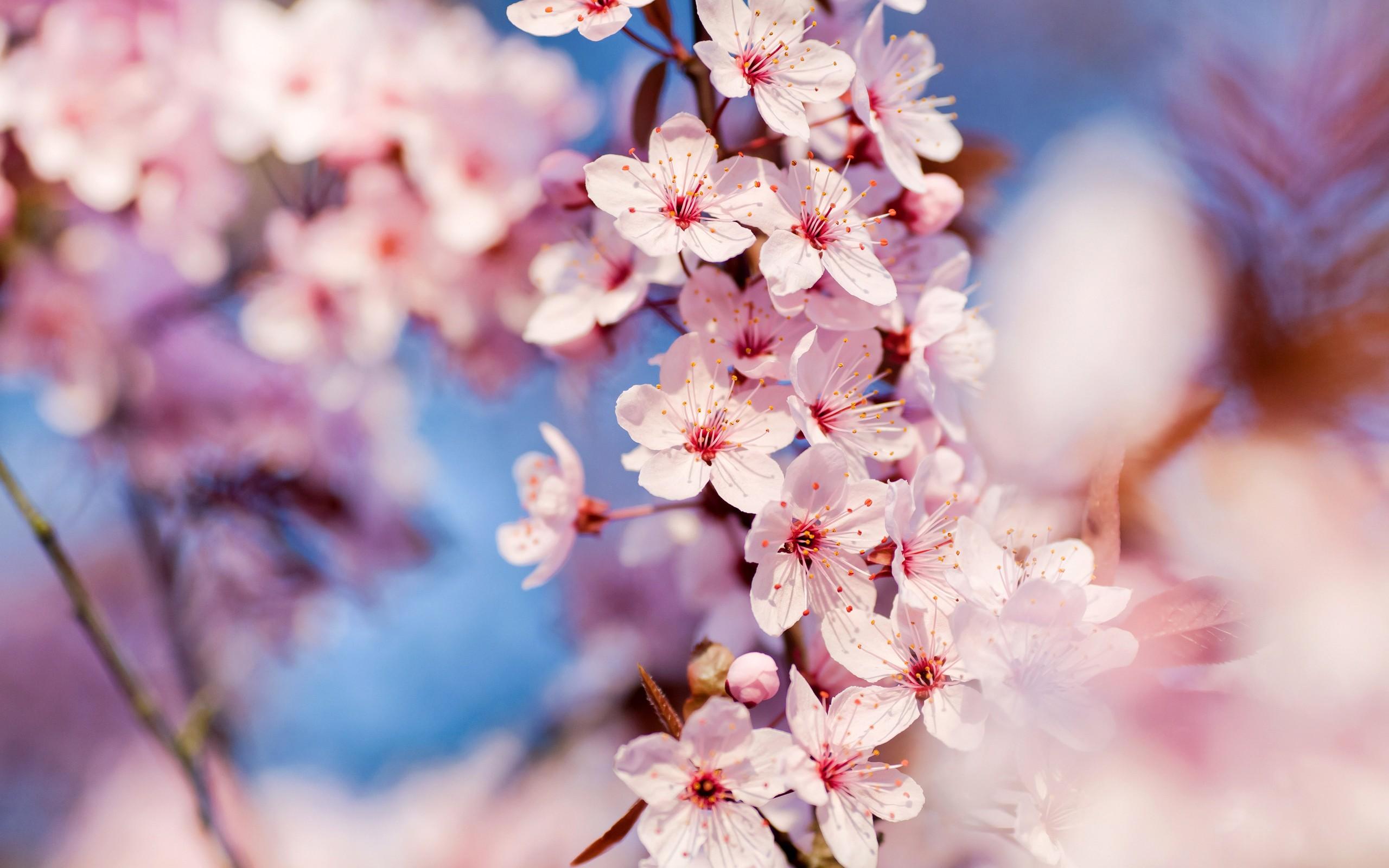 Цветущая вишня картинки большой размер