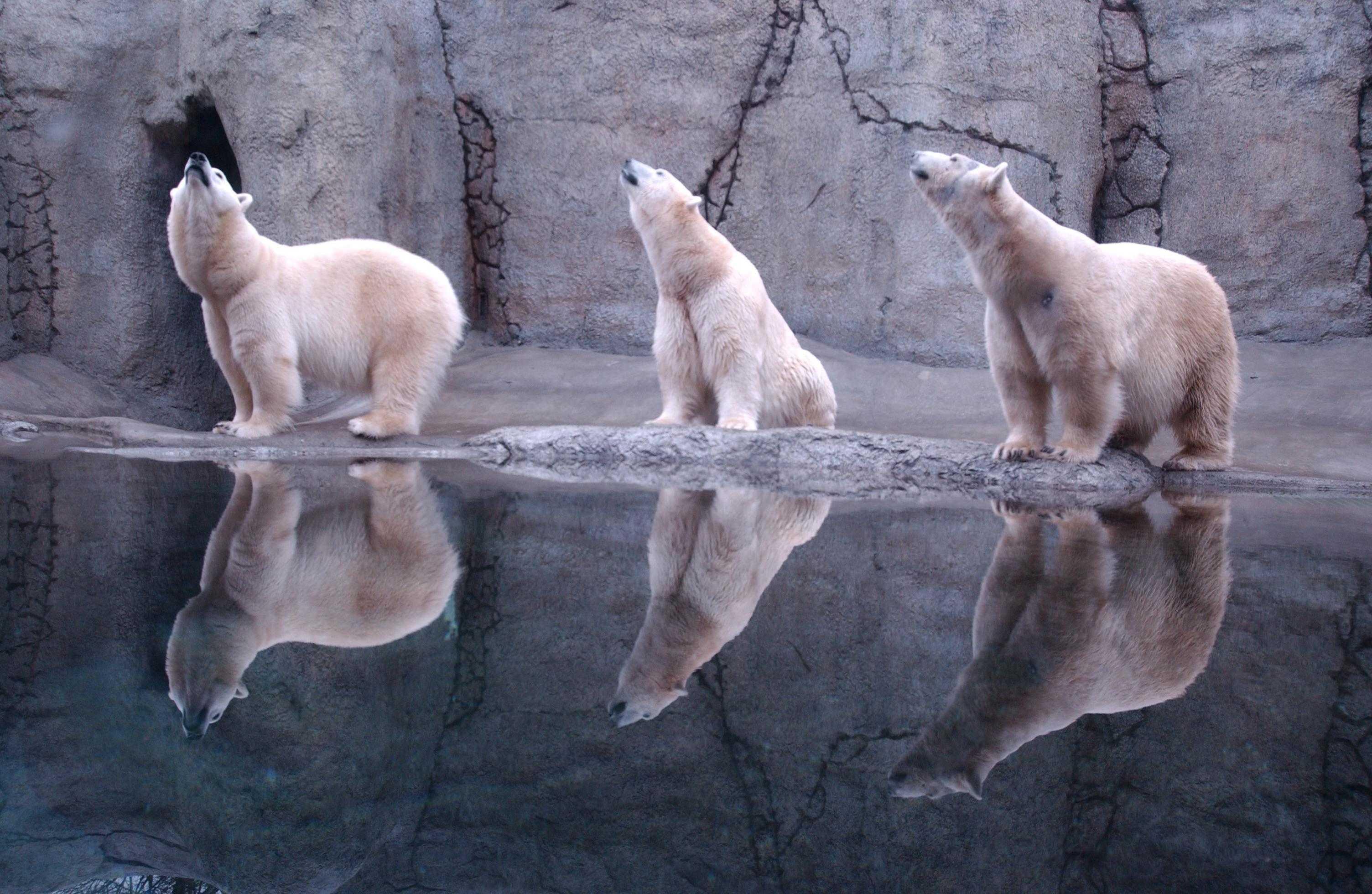 могут медведь отражающийся на льду фото автор проявления богатырский
