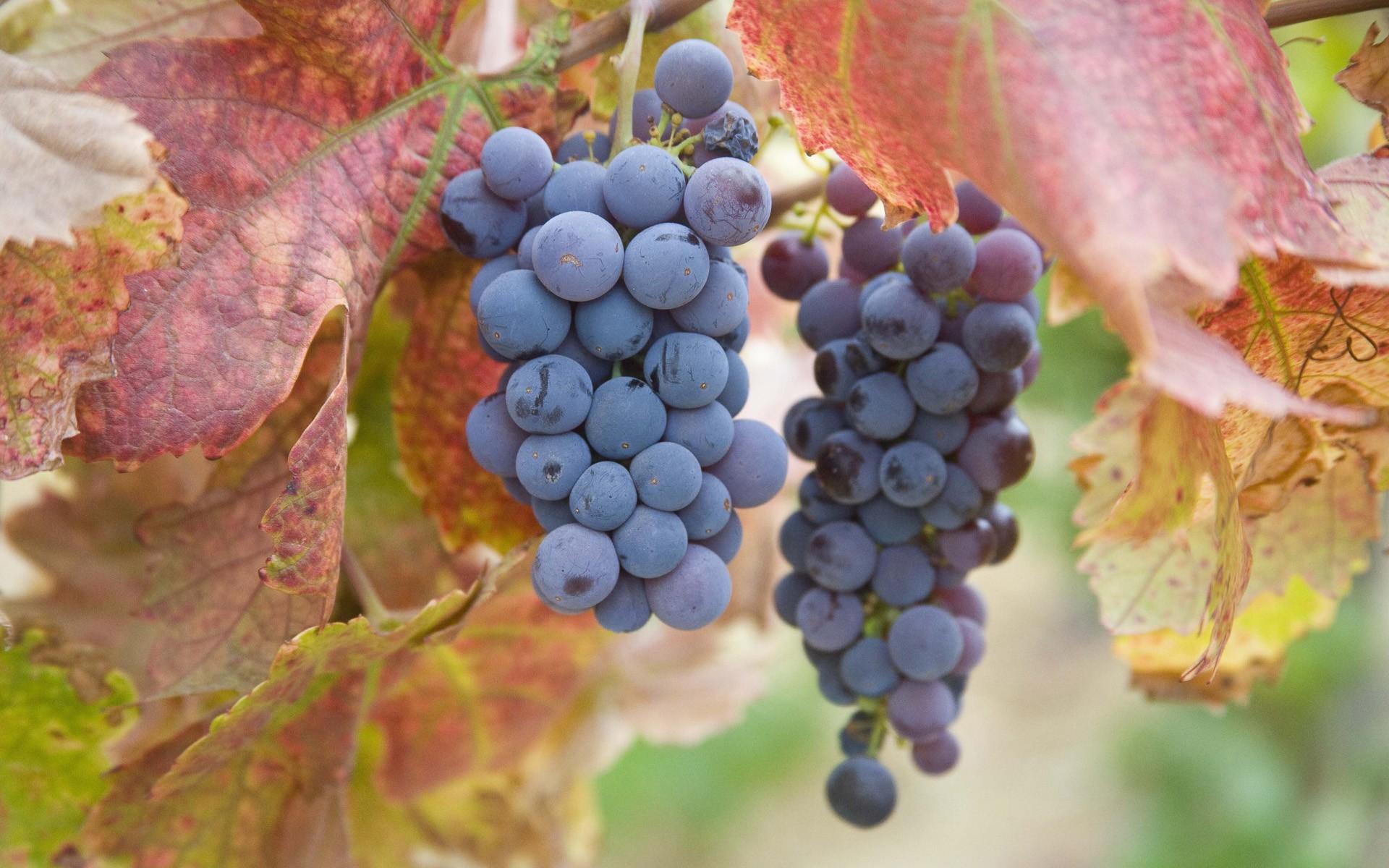 Открытка с урожаем винограда
