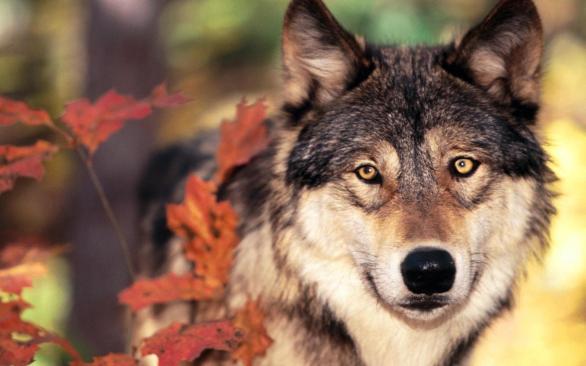 Открытка животные волки