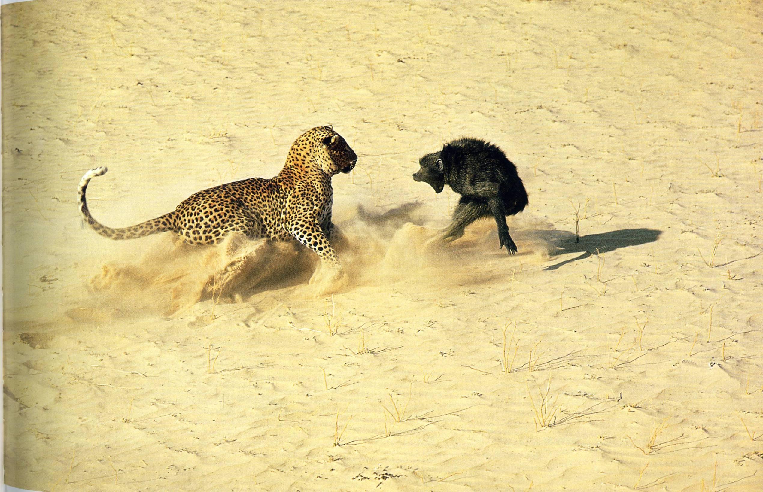 картинки пустыня и тигр выполнен металлической рамы