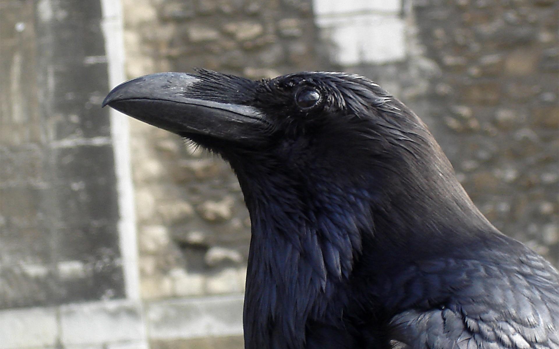 птица ворон фото на рабочий стол базе роспатента